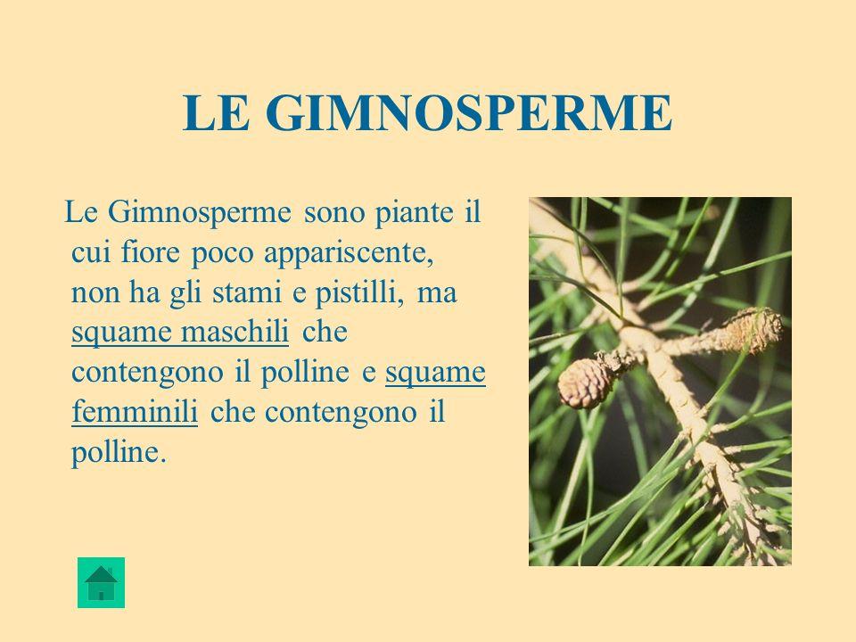 LE GIMNOSPERME Le Gimnosperme sono piante il cui fiore poco appariscente, non ha gli stami e pistilli, ma squame maschili che contengono il polline e