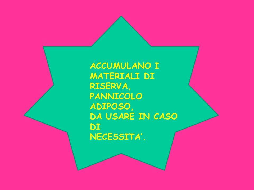 ACCUMULANO I MATERIALI DI RISERVA, PANNICOLO ADIPOSO, DA USARE IN CASO DI NECESSITA.