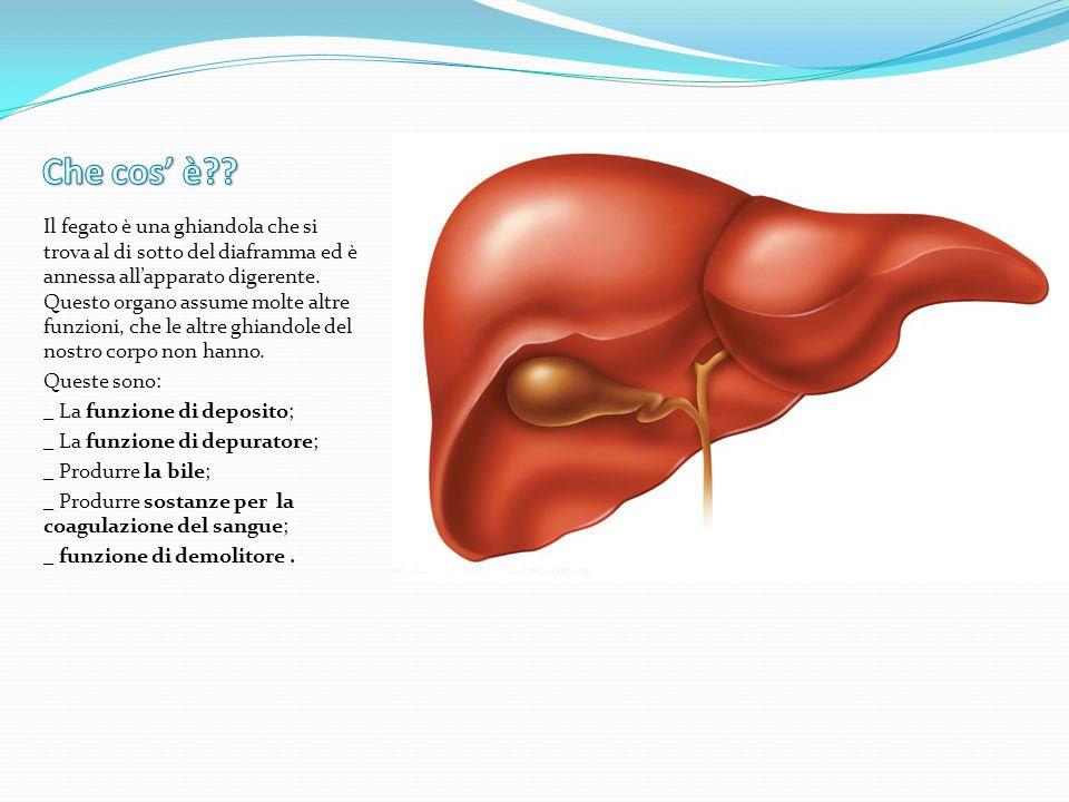 Nel fegato si deposita il glucosio (= zucchero semplice) sotto forma di glicogeno che è una specie di amido animale.