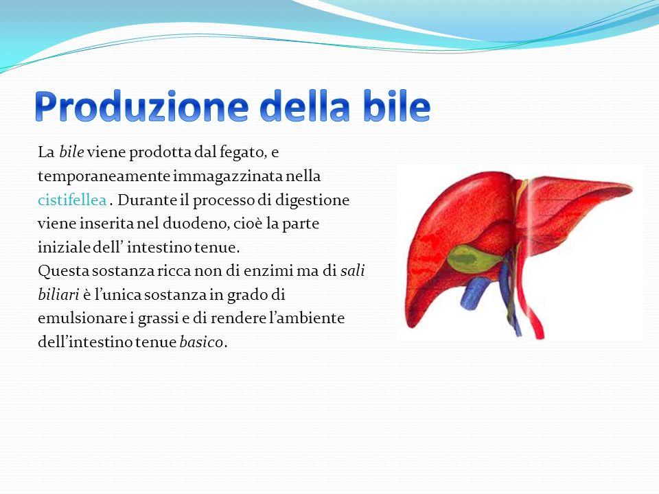 La bile viene prodotta dal fegato, e temporaneamente immagazzinata nella cistifellea. Durante il processo di digestione viene inserita nel duodeno, ci