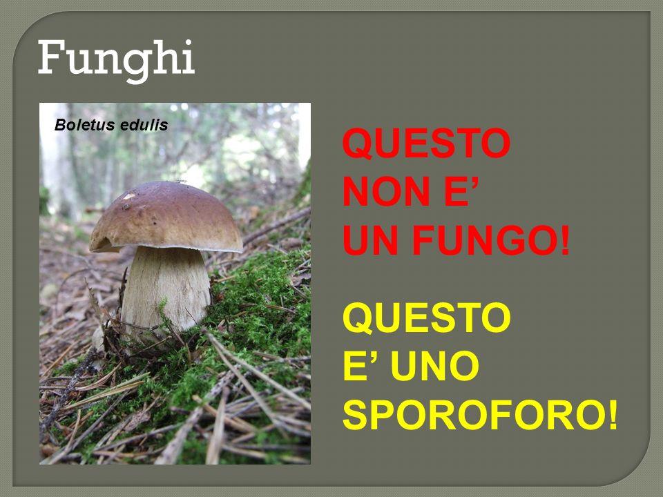 Funghi SPOROFORO MICELIO Gymnopilus penetrans struttura riproduttiva sessuata corpo vegetativo costituito da ife (sing.