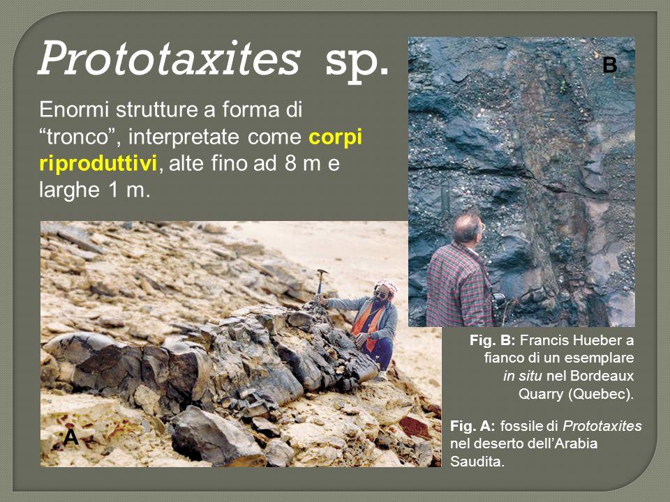 Prototaxites sp.