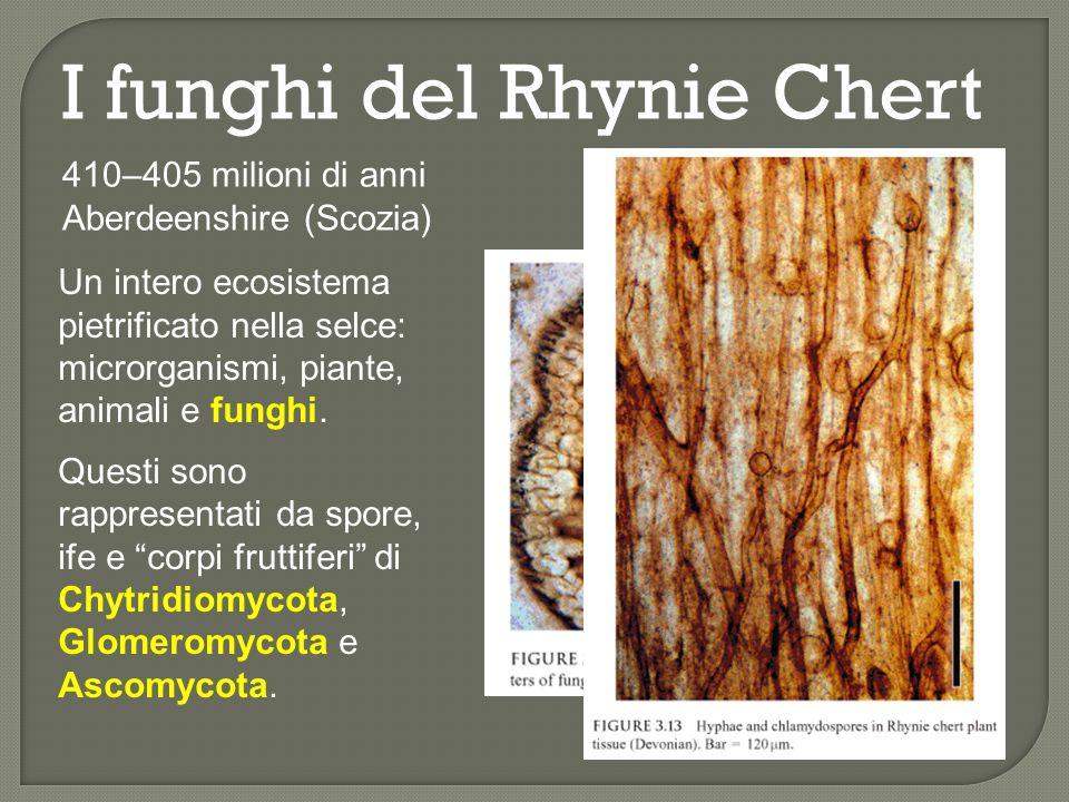 I funghi del Rhynie Chert Chytridiomycota: Palaeoblastocladia milleri