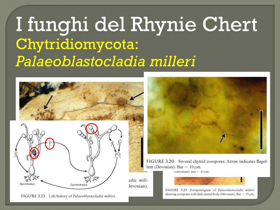 I funghi del Rhynie Chert Glomeromycota: Glomites rhyniensis Stelo di Aglaophyton major