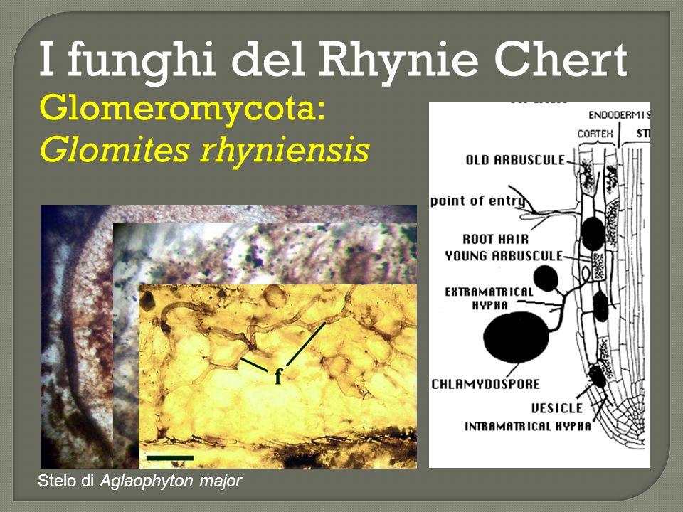 I funghi del Rhynie Chert Ascomycota: Paleopyrenomycites devonicus Periteci sferici appena al di sotto dellepidermide della pianta Asteroxylon mackiei, con asci contenenti fino a 16 spore.