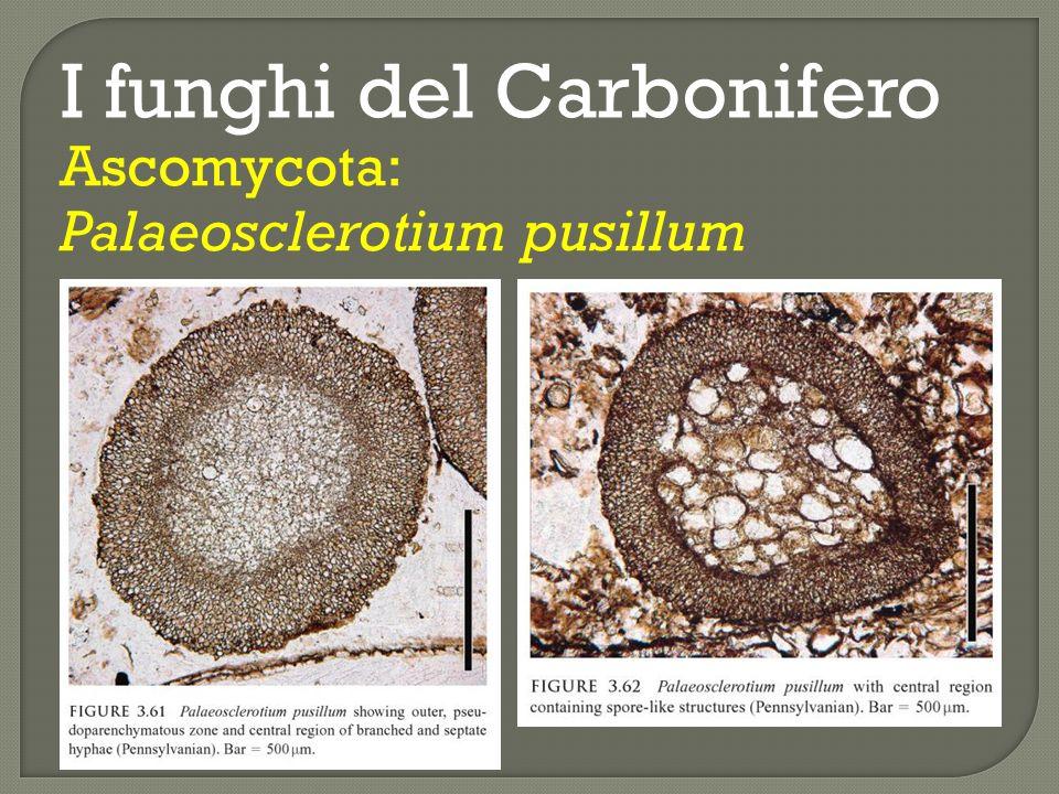 Neo- proterozoico Meso- proterozoico Ediacariano Cryogeniano Toniano 545 - 1000 Steniano Ectasiano Calymmiano 1000 - 1600 1.500 Ma circa.