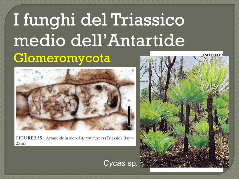 I funghi del Triassico medio dellAntartide Glomeromycota D: tre noduli radicali (in sez.