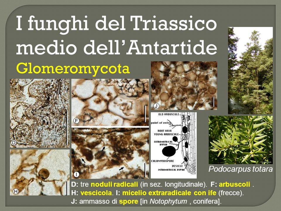I funghi del Triassico medio dellAntartide Basidiomycota: Palaeofibulus antarctica