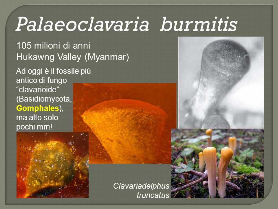 Paleoophiocordyceps coccophagus 105 milioni di anni Hukawng Valley (Myanmar) Questo fungo, conservato nellambra birmana, appartiene alla fam.