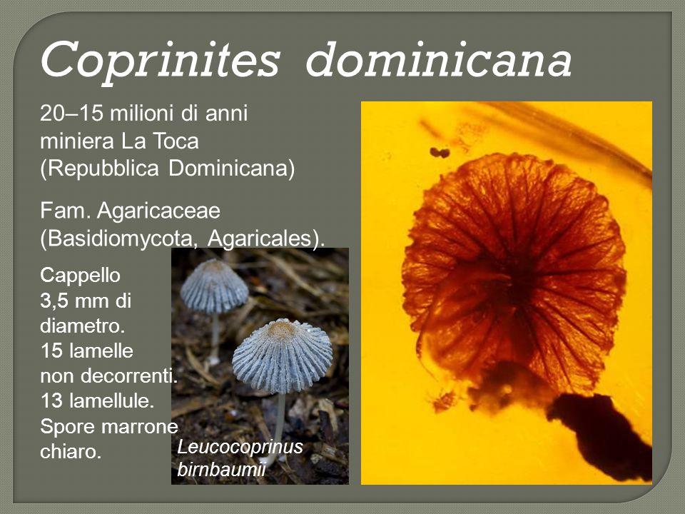 Protomycena electra 20–15 milioni di anni Cordillera Septentrional (Repubblica Dominicana) Fam.