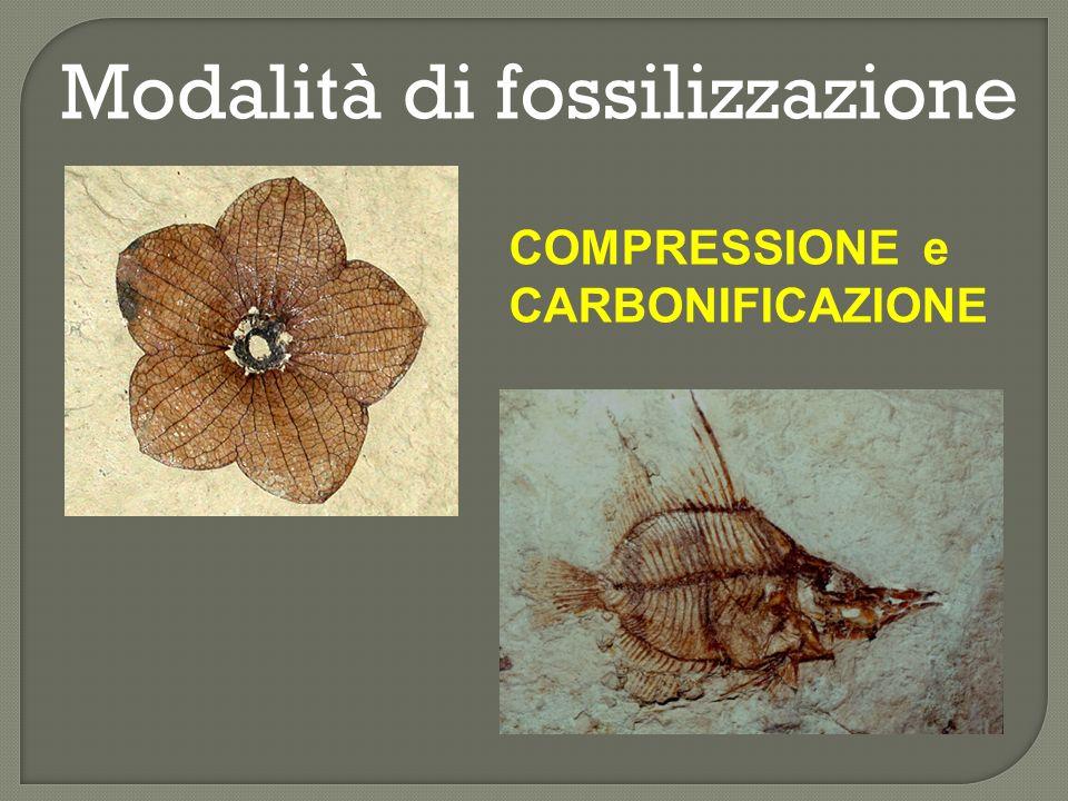 Modalità di fossilizzazione MODELLI E CALCHI