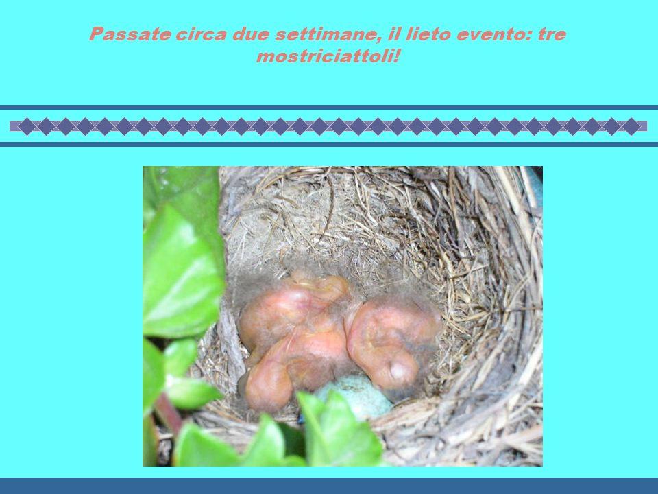Dopo la costruzione del nido, deposizione di quattro uova