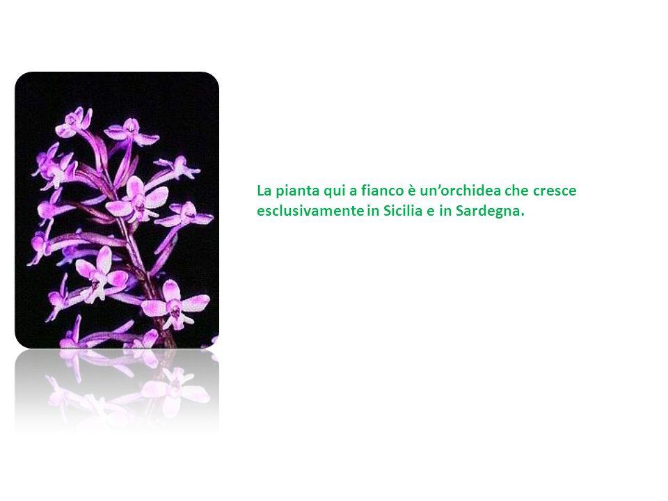 La pianta qui a fianco è unorchidea che cresce esclusivamente in Sicilia e in Sardegna.