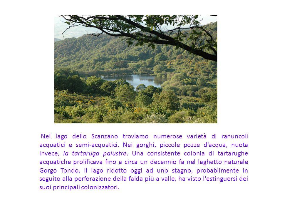 Nel lago dello Scanzano troviamo numerose varietà di ranuncoli acquatici e semi-acquatici. Nei gorghi, piccole pozze d'acqua, nuota invece, la tartaru