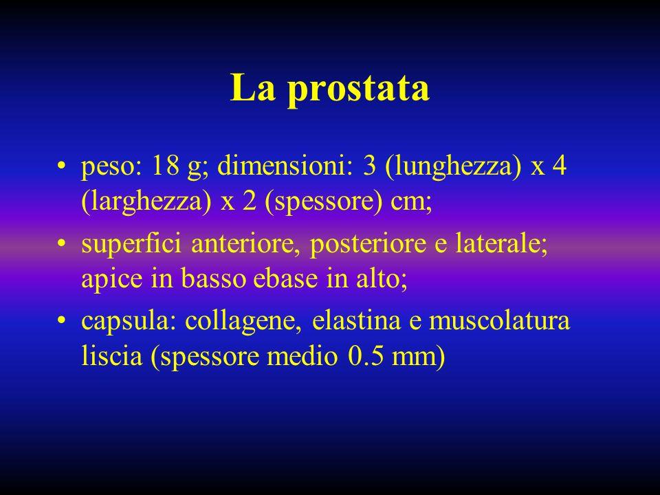 La prostata peso: 18 g; dimensioni: 3 (lunghezza) x 4 (larghezza) x 2 (spessore) cm; superfici anteriore, posteriore e laterale; apice in basso ebase in alto; capsula: collagene, elastina e muscolatura liscia (spessore medio 0.5 mm)
