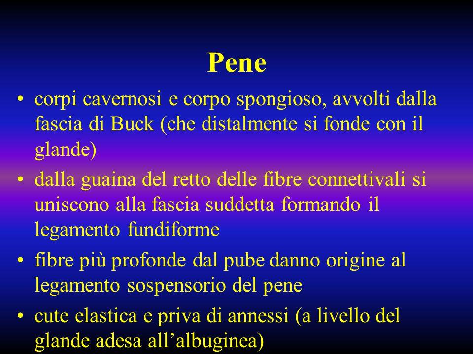 Pene: vascolarizzazione Arteria peniena comune dal canale di Alcock (sopra membrana perineale) si divide in arteria bulbouretrale (corpo spongioso), cavernosa e dorsale del pene (tra vena dorsale e nervo dorsale, sotto la fascia di Buck) alla base del glande canali venosi formano la vena dorsale del pene (che drena nel plesso preprostatico); vene circonflesse nel corpo spongioso si gettano nella vena dorsale profonda; dai seni cavernosi vene emissarie che formano le vene cavernose