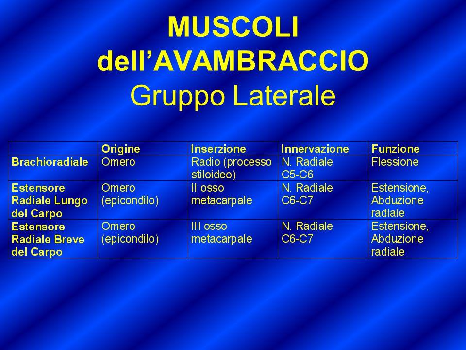 MUSCOLI dellAVAMBRACCIO Gruppo Laterale