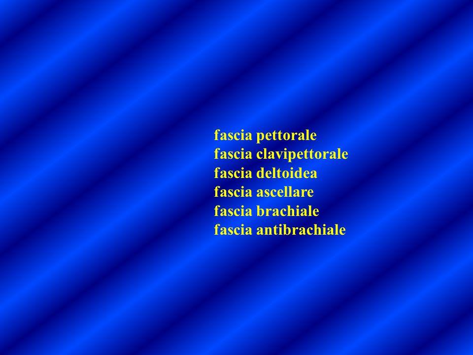 fascia pettorale fascia clavipettorale fascia deltoidea fascia ascellare fascia brachiale fascia antibrachiale