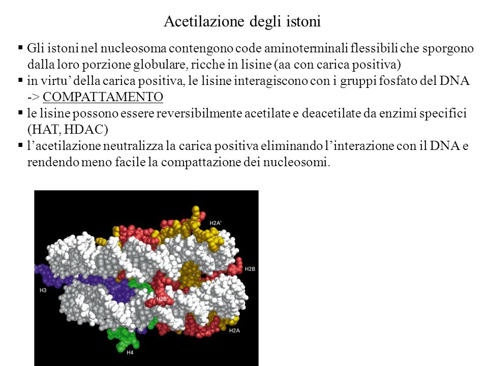 Gli istoni nel nucleosoma contengono code aminoterminali flessibili che sporgono dalla loro porzione globulare, ricche in lisine (aa con carica positi