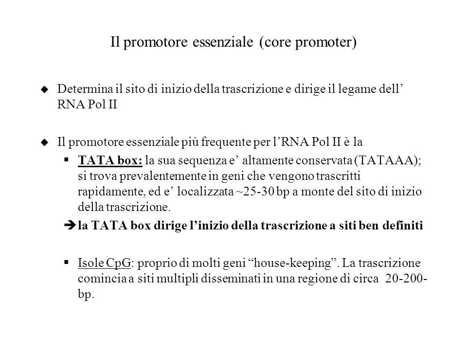 Il promotore essenziale (core promoter) u Determina il sito di inizio della trascrizione e dirige il legame dell RNA Pol II u Il promotore essenziale