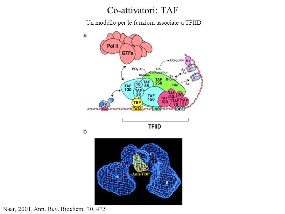 Co-attivatori: TAF Un modello per le funzioni associate a TFIID Naar, 2001, Ann. Rev. Biochem. 70, 475