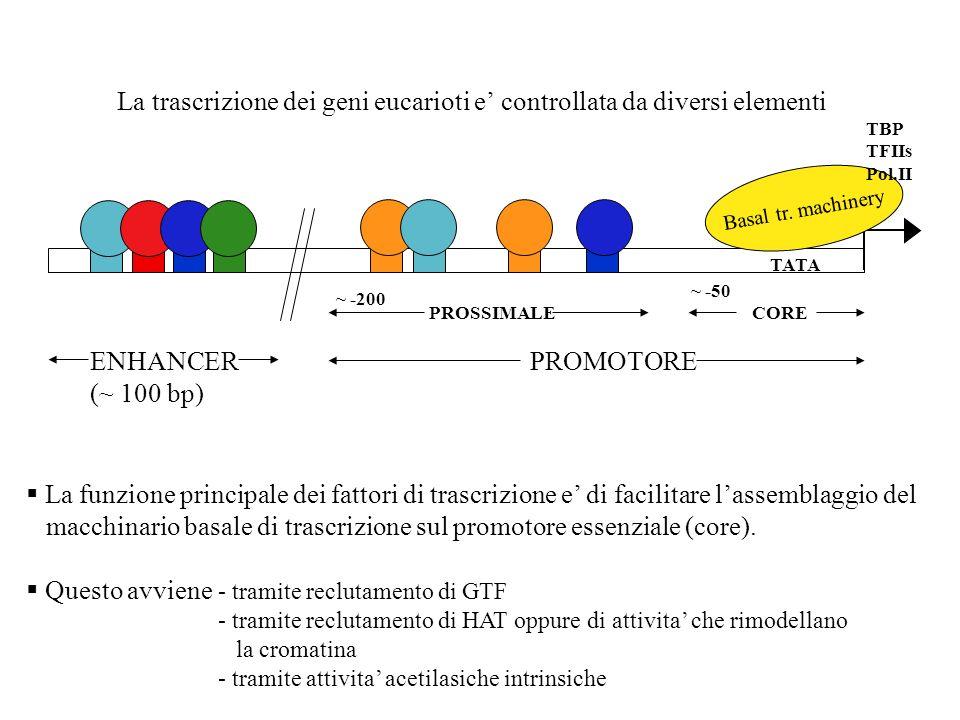 La trascrizione dei geni eucarioti e controllata da diversi elementi TATA Basal tr. machinery TBP TFIIs Pol.II PROMOTORE PROSSIMALECORE ~ -200 ~ -50 E