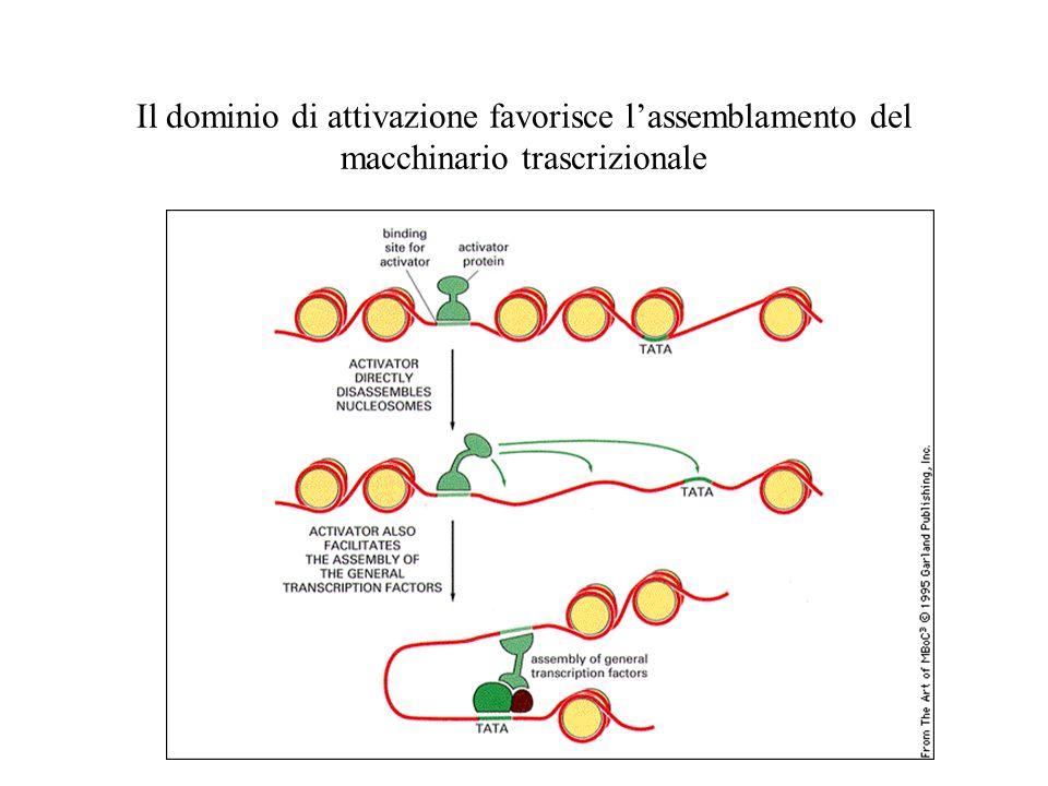 Il dominio di attivazione favorisce lassemblamento del macchinario trascrizionale