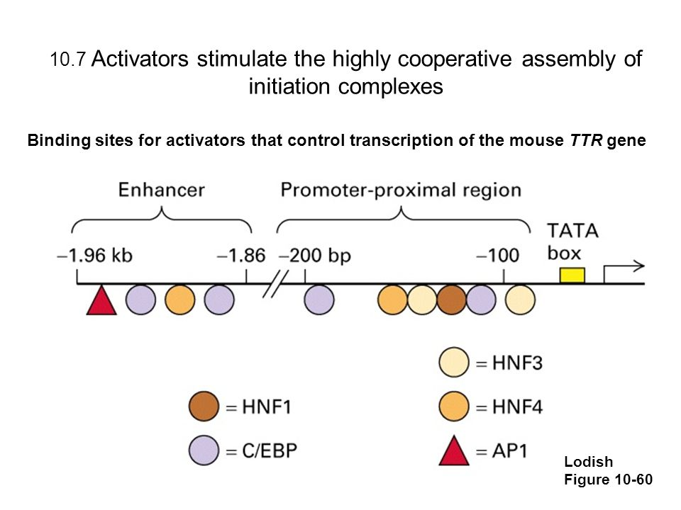 10.7 Activators stimulate the highly cooperative assembly of initiation complexes Lodish Figure 10-60 Binding sites for activators that control transc