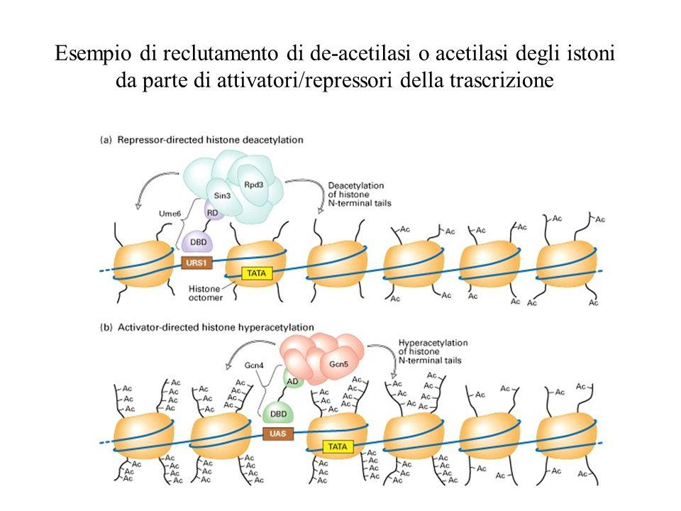 Esempio di reclutamento di de-acetilasi o acetilasi degli istoni da parte di attivatori/repressori della trascrizione