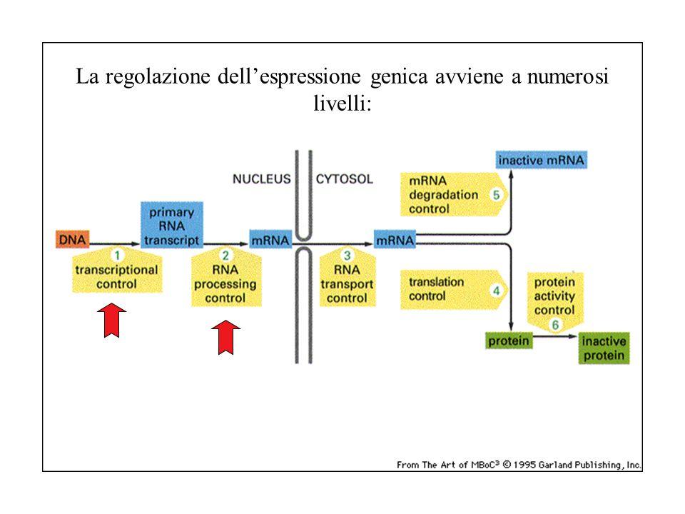La regolazione dellespressione genica avviene a numerosi livelli: