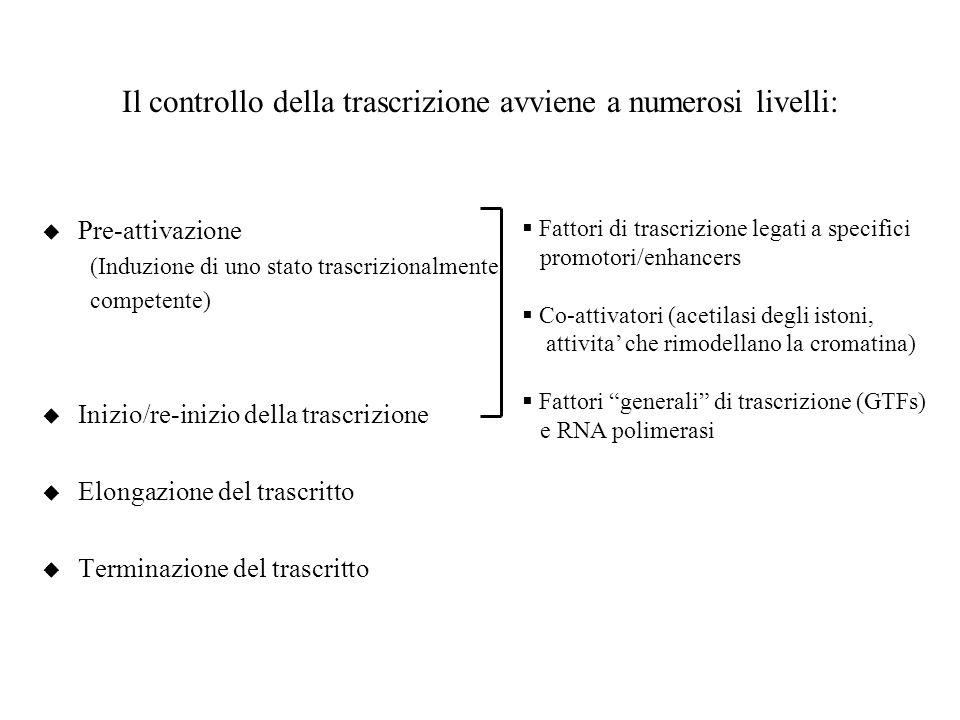 Il controllo della trascrizione avviene a numerosi livelli: u Pre-attivazione (Induzione di uno stato trascrizionalmente competente) u Inizio/re-inizi