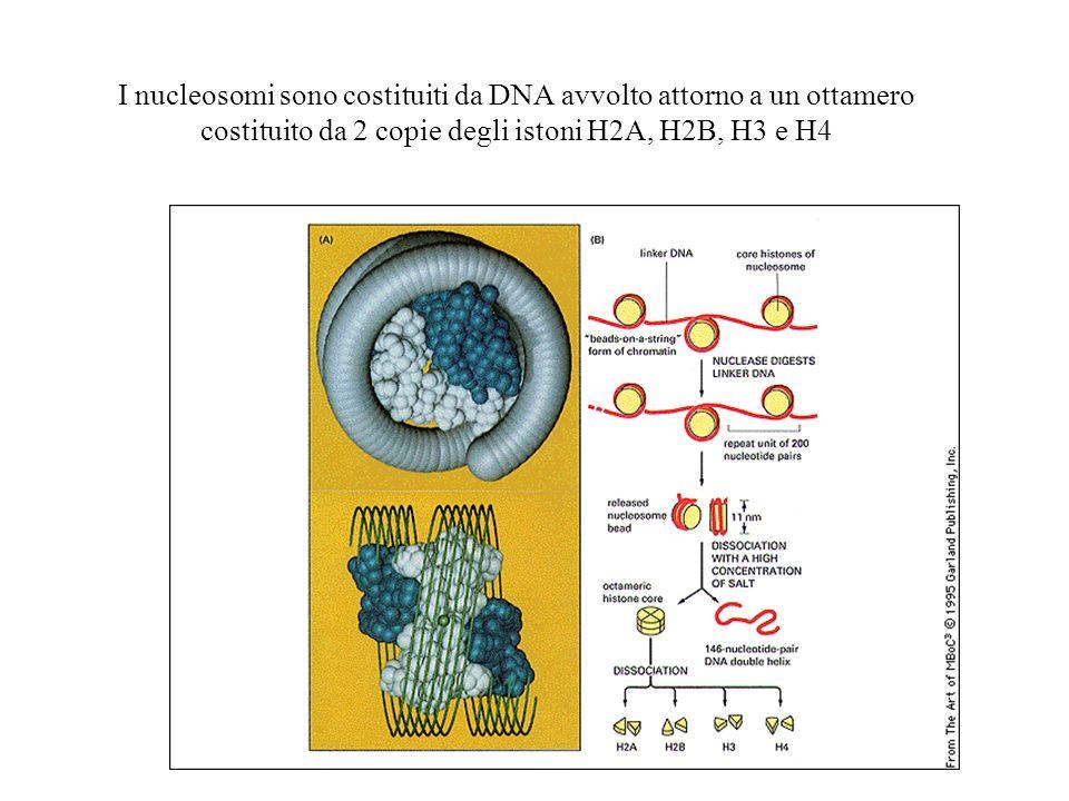 I nucleosomi sono costituiti da DNA avvolto attorno a un ottamero costituito da 2 copie degli istoni H2A, H2B, H3 e H4