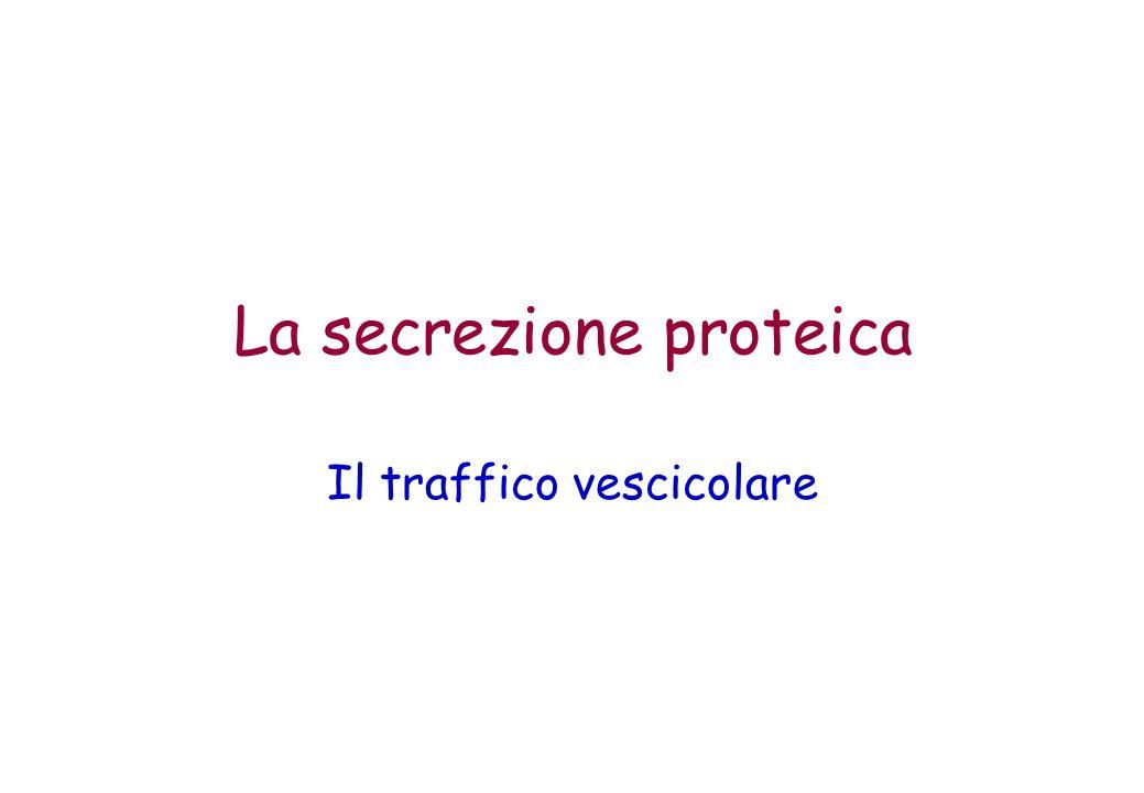 La secrezione proteica Il traffico vescicolare