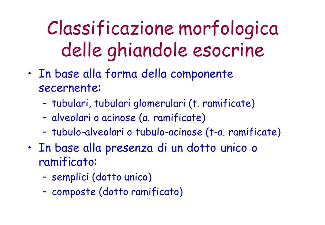 Classificazione morfologica delle ghiandole esocrine In base alla forma della componente secernente: –tubulari, tubulari glomerulari (t. ramificate) –