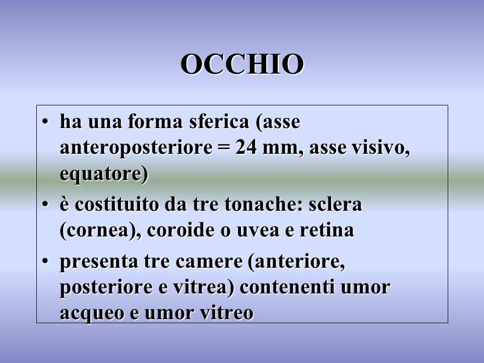 OCCHIO ha una forma sferica (asse anteroposteriore = 24 mm, asse visivo, equatore)ha una forma sferica (asse anteroposteriore = 24 mm, asse visivo, eq