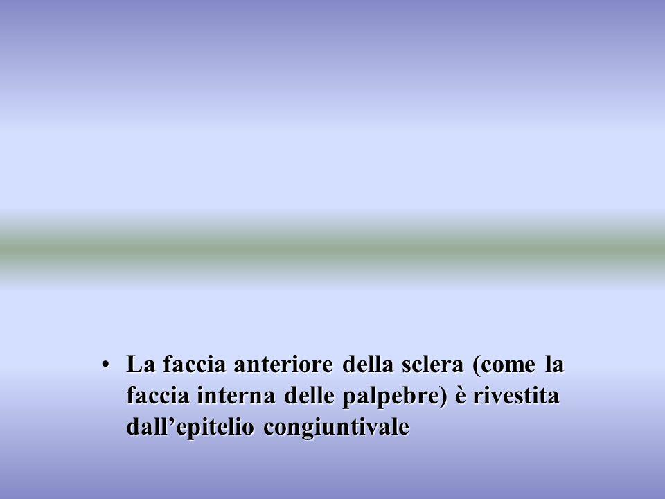 La faccia anteriore della sclera (come la faccia interna delle palpebre) è rivestita dallepitelio congiuntivaleLa faccia anteriore della sclera (come