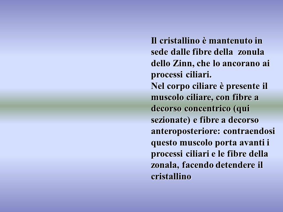 Il cristallino è mantenuto in sede dalle fibre della zonula dello Zinn, che lo ancorano ai processi ciliari. Nel corpo ciliare è presente il muscolo c