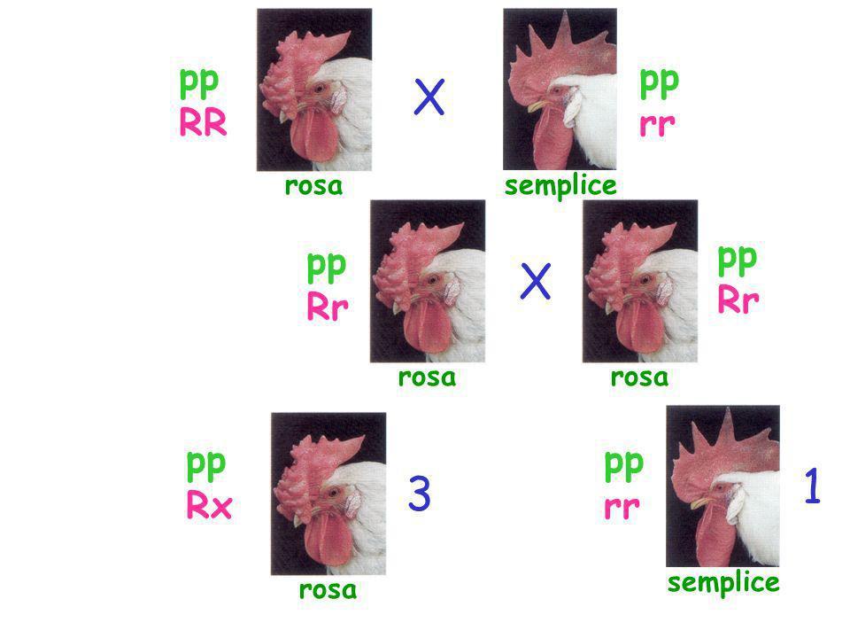 semplice X X 1 3 rosa pp RR pp rr pp Rr pp Rr pp Rx pp rr