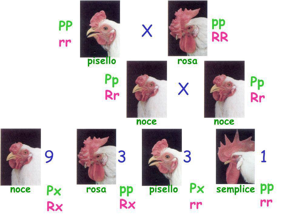 pisello X X semplice 13 rosanoce rosanoce 39 PP rr pp RR Pp Rr Pp Rr pp rr pp Rx Px rr Px Rx