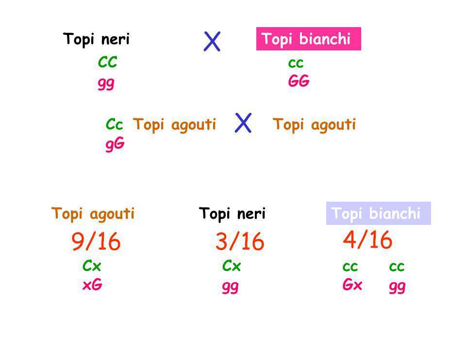 Topi bianchi Topi agouti 9/163/16 Topi agouti Topi neriTopi agoutiTopi bianchi 4/16 CC gg cc GG Cc gG Cx xG Cx gg cc Gx cc gg X X Topi neri
