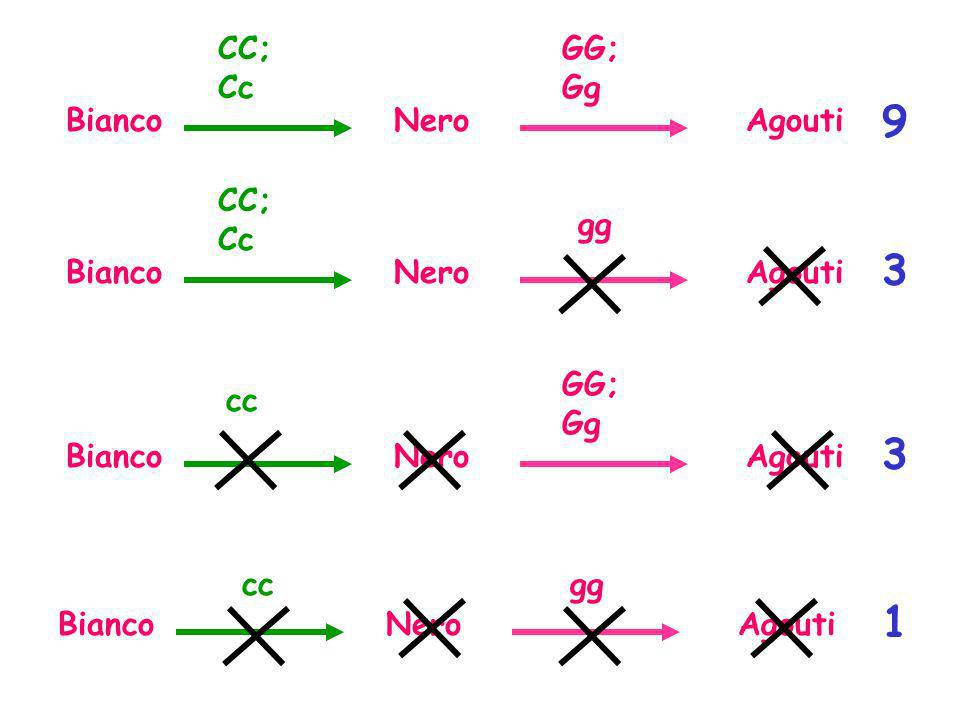 BiancoAgoutiNero GG; Gg CC; Cc BiancoAgoutiNero gg CC; Cc BiancoAgoutiNero GG; Gg cc BiancoAgoutiNero ggcc 1 3 3 9