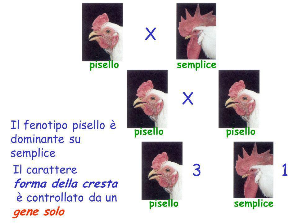 pisellosemplice X pisello X semplice 13 Il fenotipo pisello è dominante su semplice Il carattere forma della cresta è controllato da un gene solo
