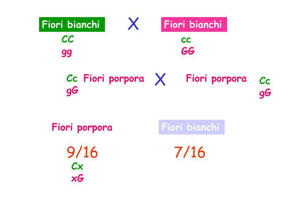 Fiori bianchi Fiori porpora Fiori bianchi 9/167/16 CC gg cc GG Cc gG Cc gG Cx xG X X