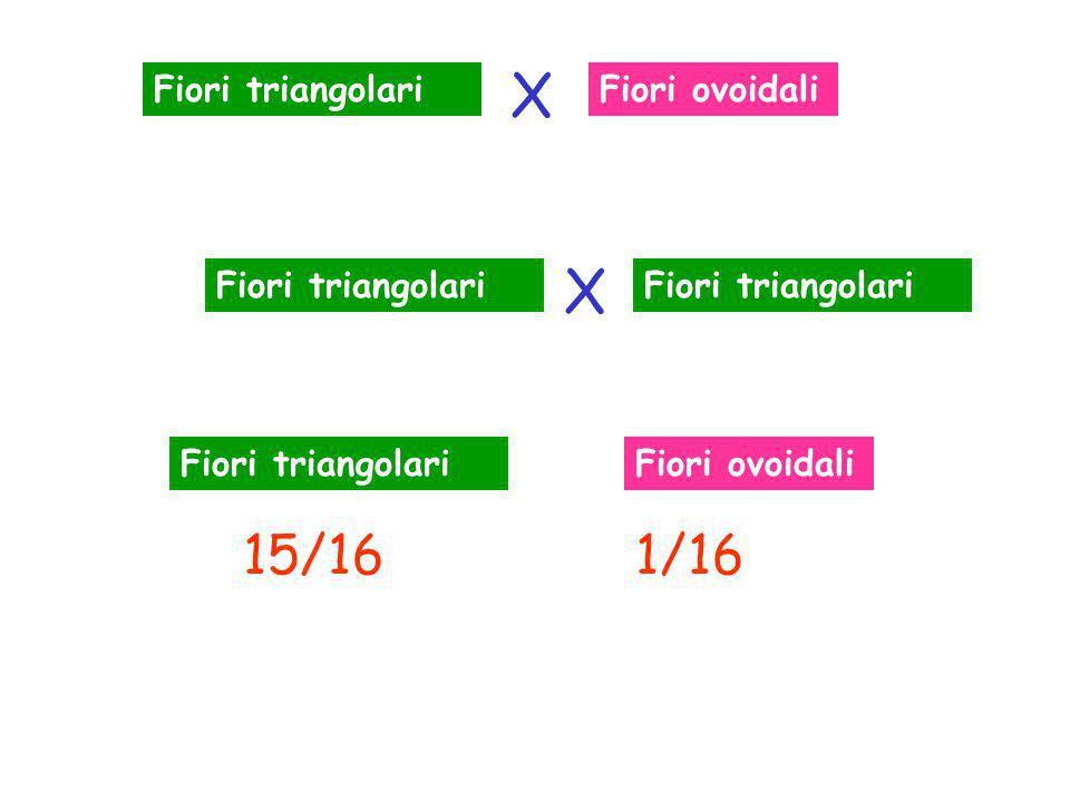Fiori triangolariFiori ovoidali 15/161/16 Fiori triangolari Fiori ovoidali X X