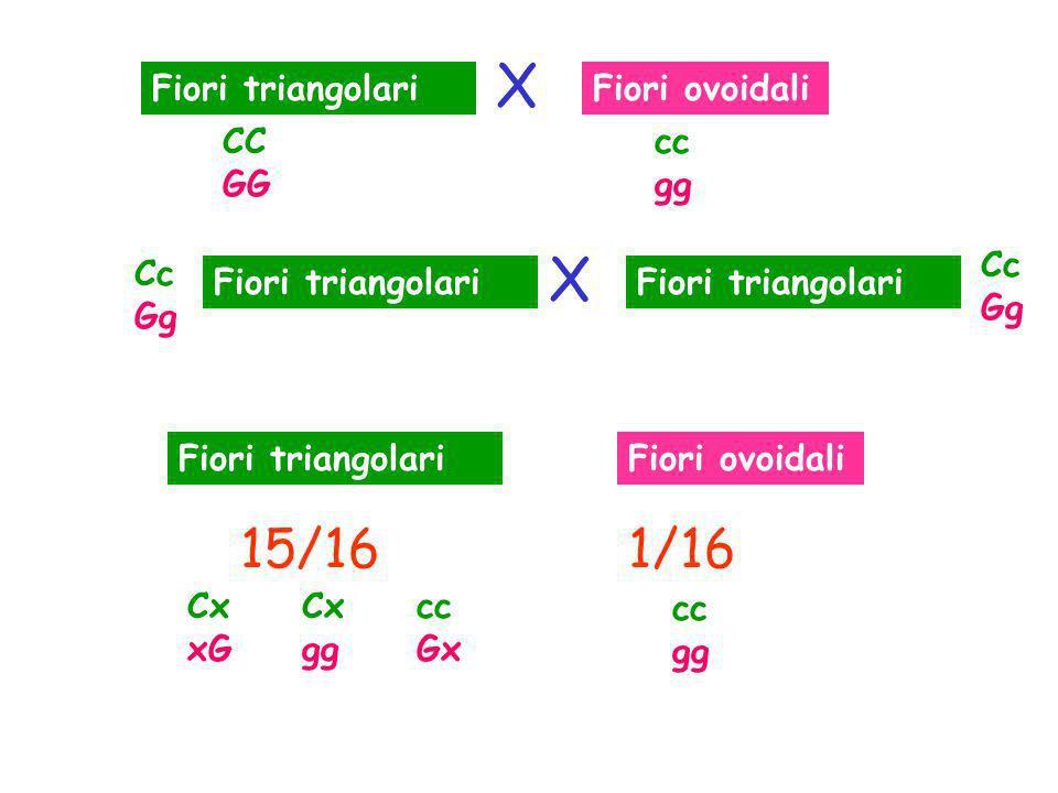Fiori triangolariFiori ovoidali 15/161/16 Fiori triangolari Fiori ovoidali CC GG cc gg Cc Gg Cc Gg Cx xG Cx gg cc Gx cc gg X X