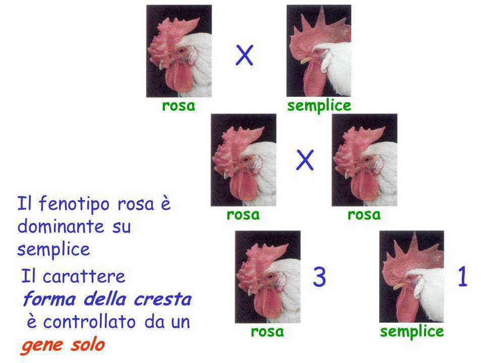semplice X X 13 Il fenotipo rosa è dominante su semplice Il carattere forma della cresta è controllato da un gene solo rosa