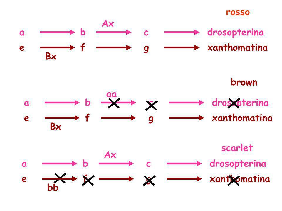 adrosopterinabc exanthomatinafg Ax Bx rosso adrosopterinabc exanthomatinafg aa Bx brown adrosopterinabc exanthomatinafg Ax bb scarlet