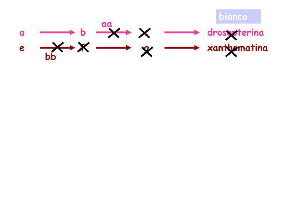 adrosopterinabc exanthomatinafg aa bb bianco