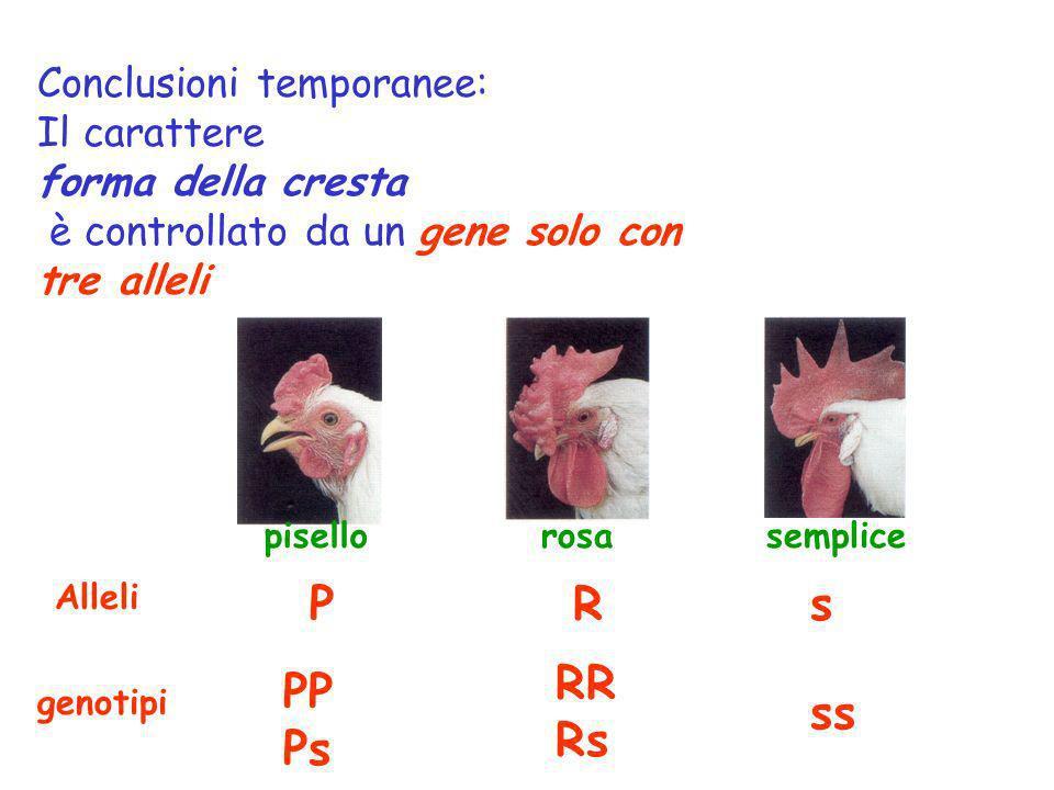 Conclusioni temporanee: Il carattere forma della cresta è controllato da un gene solo con tre alleli pisellorosasemplice genotipi Alleli PRs PP Ps RR