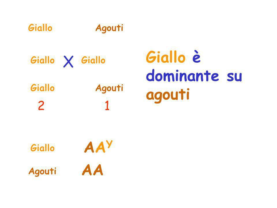 GialloAgouti Giallo AgoutiGiallo 21 X AAYAAY Agouti AA Giallo è dominante su agouti